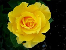 Yellow Rose by StormyOceans