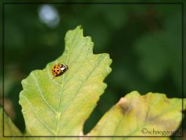 Ladybug 06 by schnegge1984