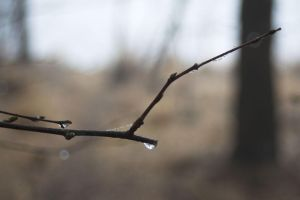 Twig with Dew by syrus
