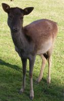 Small Baby Brown Deer 2 by Gracies-Stock