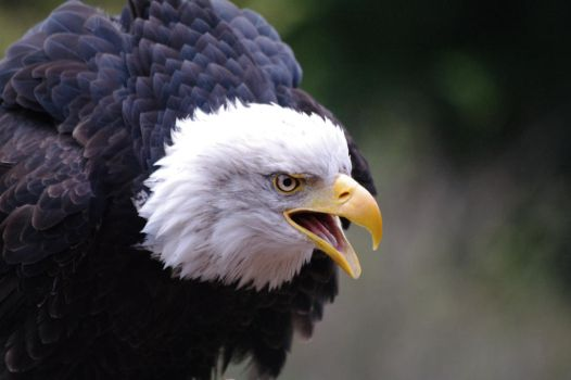 Bald Eagle 2 by Suit-n-Shades