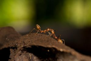 Ants kissing by CSamiano