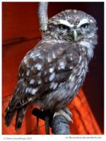 Bruno the Little Owl by In-the-picture