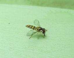 Hoverfly 10a by Windthin