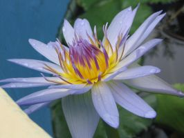 water lily 4 by fa-stock