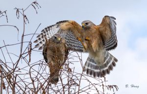 Red Shouldered Hawks by Grouper
