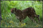 Hunting cheetah by AF--Photography