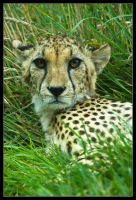 Cheetah by Prince-Photography