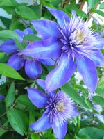 Blue Clematis. by BloodStainedSharpie