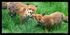 Fox Fight by fraughtuk