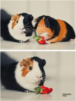 Cute guinea pig by Violetters