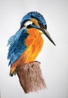Kingfisher  watercolor A3 by ignosc