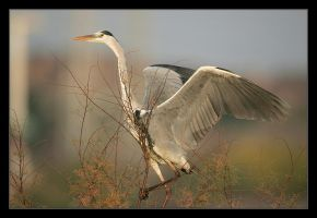 Grey Heron II by invisiblewl