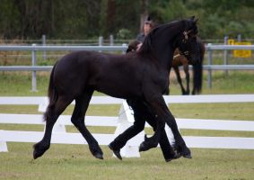 STOCK - Friesian Show 2012-56 by fillyrox
