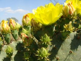Texas Cactus 2 by whipzter