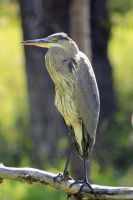 Majestic Great Blue Heron by sgt-slaughter