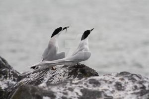 A pair of Terns by Reub-o-tographer