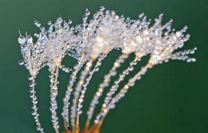 Dew dance of the Dandy seeds by Betuwefotograaf