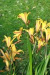 yellow lilies by ingeline-art
