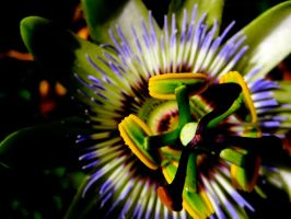 Passion Flower by MadeleineAlana
