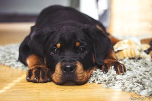 12 weeks old rottweiler by SandraPR