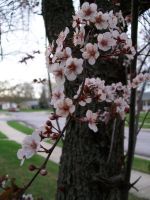 Plum Blossom by DominosAreFalling