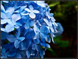 Blue Hydrangea by superxhans
