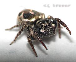 jumping spider by CorazondeDios