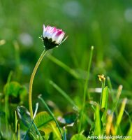 Daisy in the Grass by amrodel