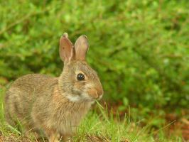 Rabbit in the Green by soluble-hermit