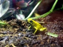 Yellow Frog by JaffaGurl