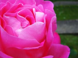 Roses pink by Atom001