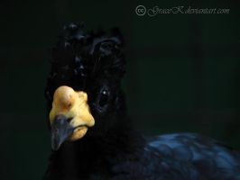 Yellow-knobbed Curassow by gracek