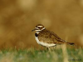Killdeer 2014 by natureguy