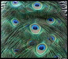 Most beautiful feathers by Lunchi