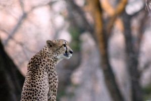 Cheetah 5 by Art-Photo
