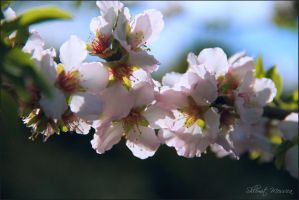 The almond is flowering 2 by ShlomitMessica