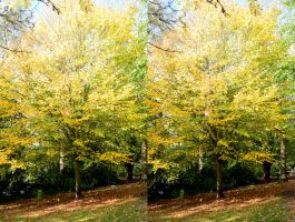 Hornbeam In Kelsey Park Autumnal Stereo by aegiandyad