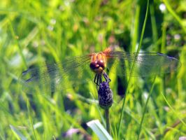 Dragonfly by 3LadyInRed3