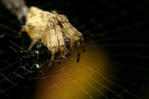 Spider on Web by Alliec