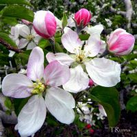 Apple Blossoms by TRunna