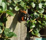 red admiral on fence by IamNasher