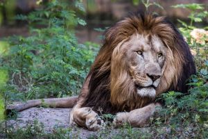King of the Pride by 904PhotoPhactory