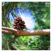 Lone Pine Cone by Garelito-Photos