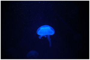 pure Blue jellyfish by rotyoung