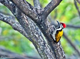 Black-rumped Flameback by tectonixr
