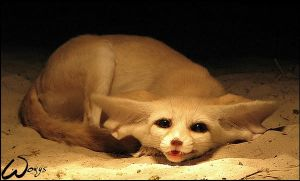 Fennec fox: cuteness song by woxys