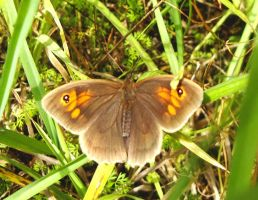 Meadow Brown by S4MMY4RT