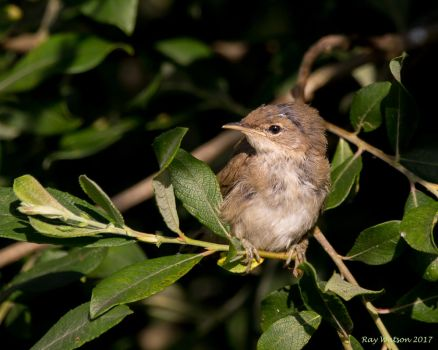 Young Reed Warbler 18-6-17 by pell21