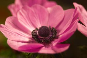 Anenome Stock 6 by Sheiabah-Stock
